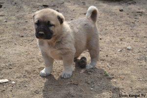 Kangal köpek yavrusu fiyatları 2019
